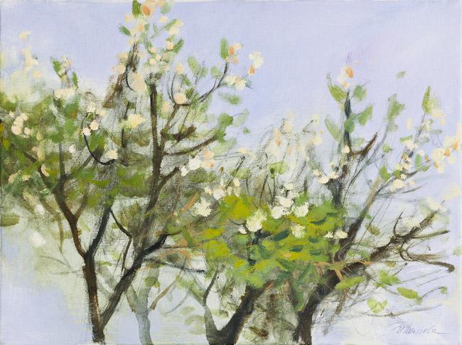 Ķirši zied | Cherry blossoms
